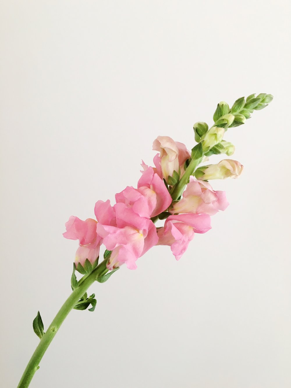 BLUSH SNAPDRAGON
