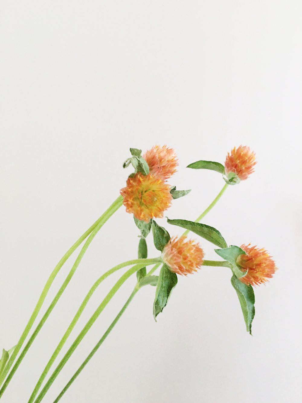 ORANGE GOMPHRENA