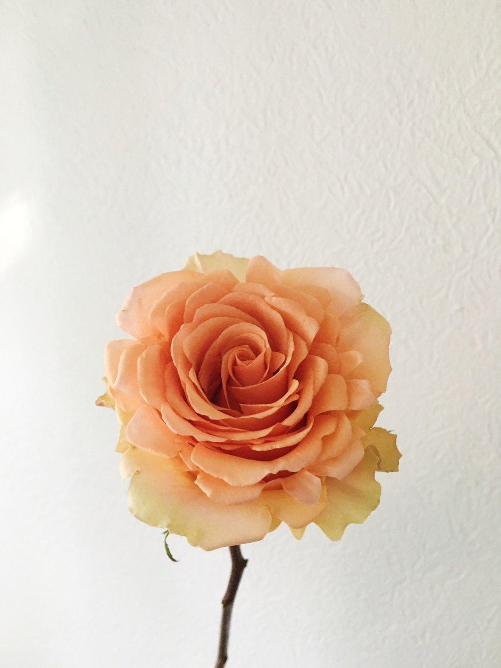 CINNAMON ROSE