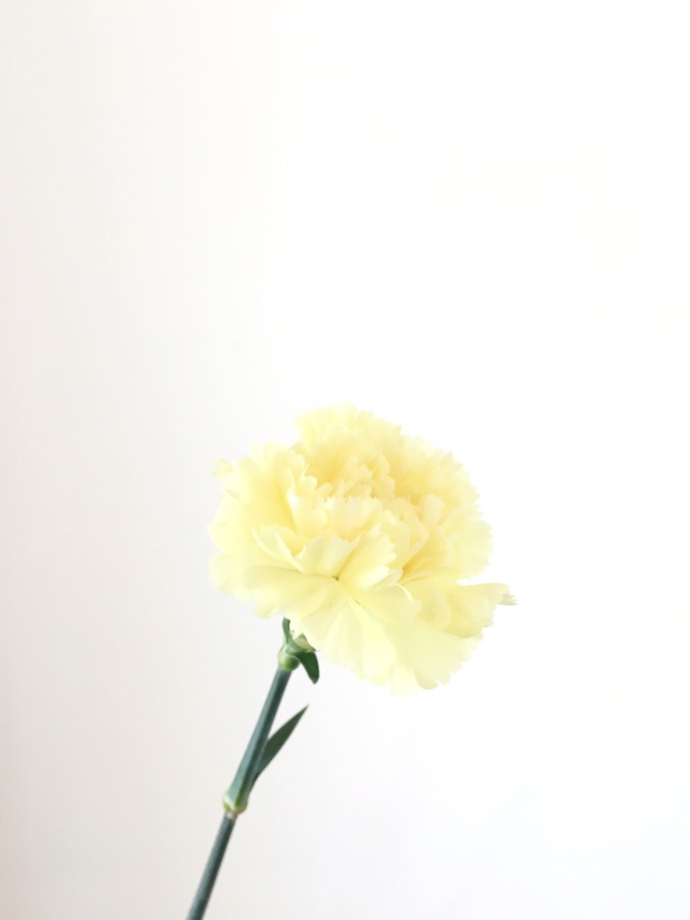 PALE YELLOW CARNATION