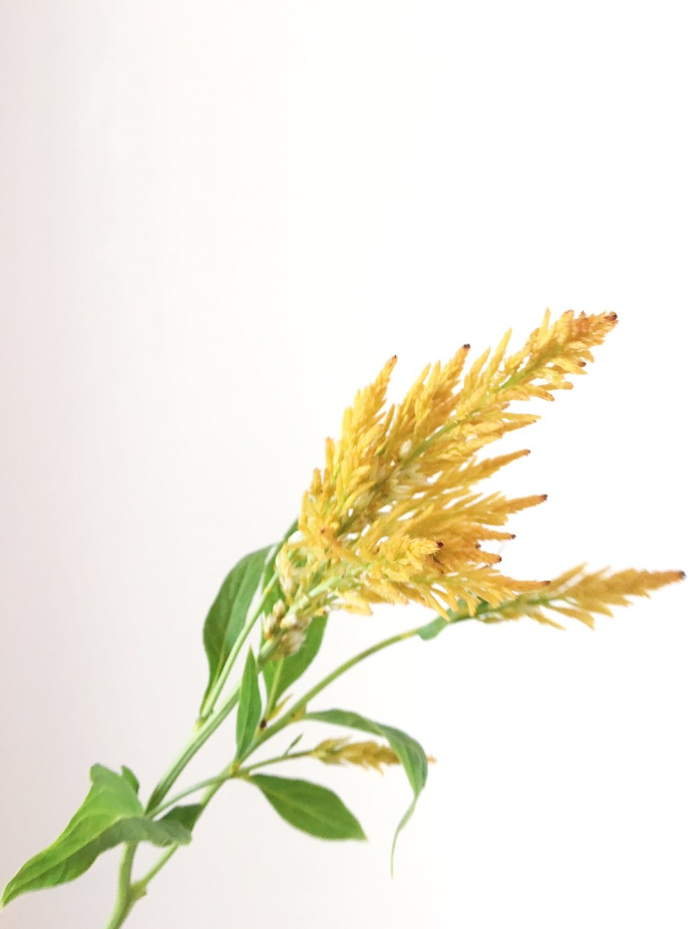 YELLOW FEATHER CELOSIA
