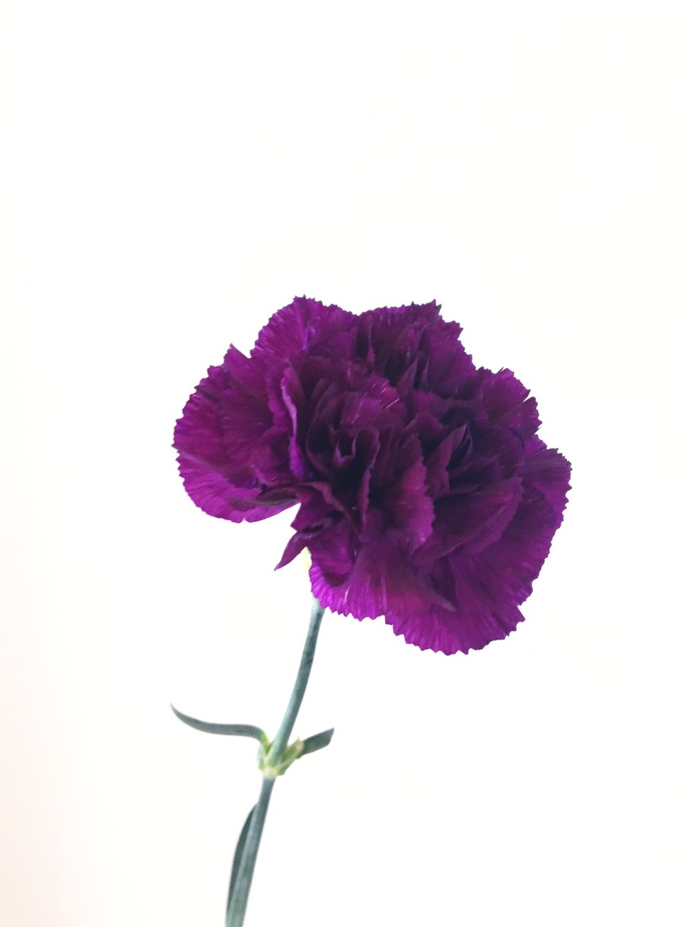 MOONSHADE CARNATION