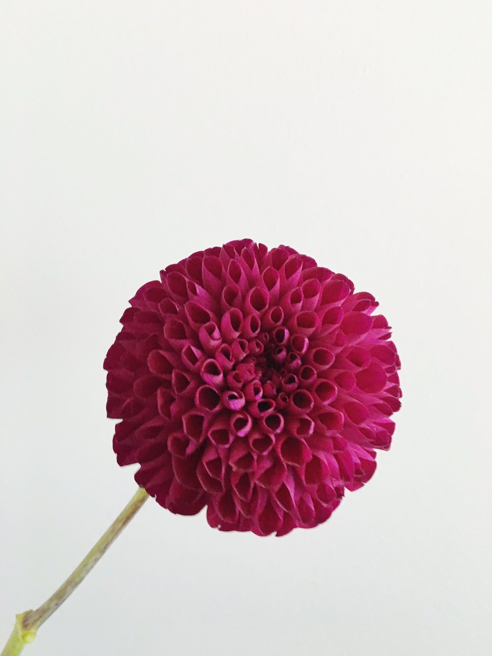 DARK PURPLE BALL DAHLIA