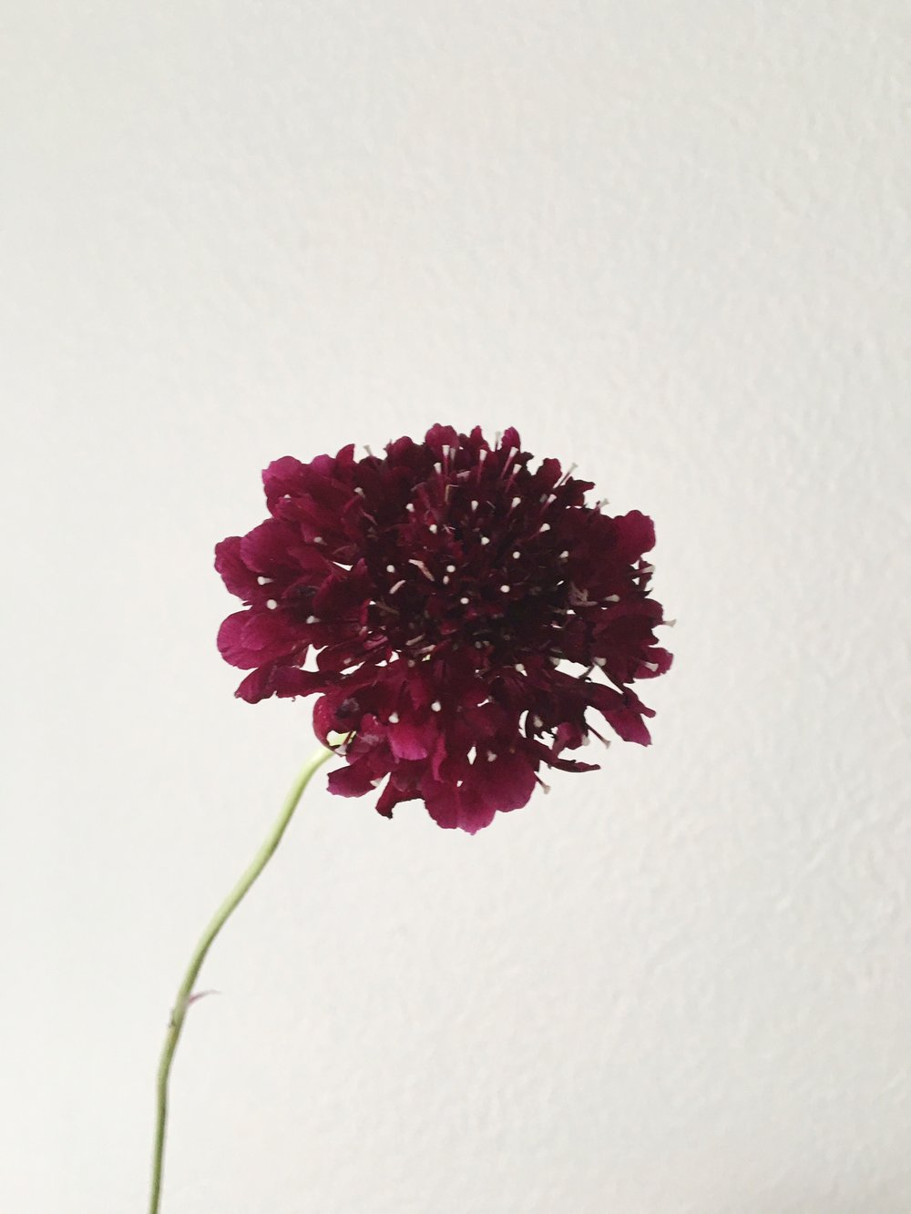 CHOCOLATE SCABIOSA