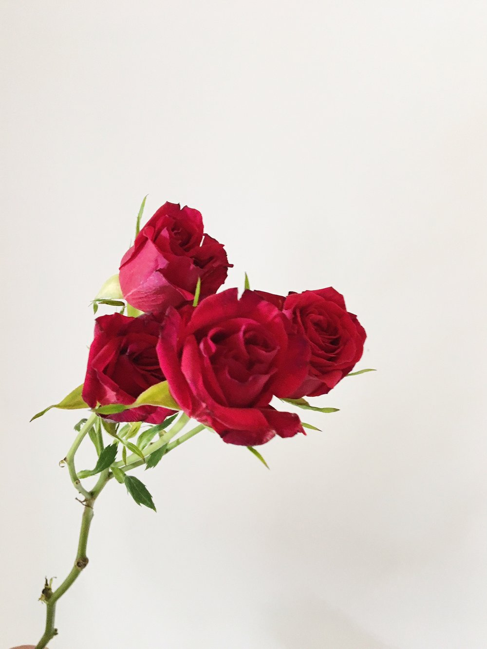 DARK RED SPRAY ROSE