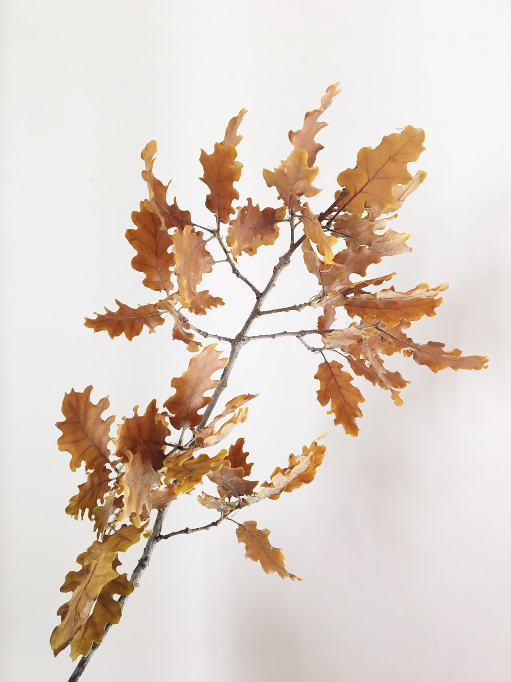 GOLD OAK LEAVES