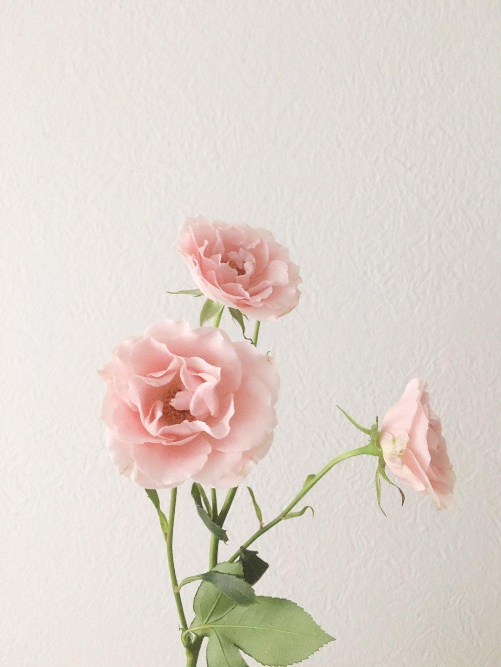 PINK MAJOLICA SPRAY ROSE