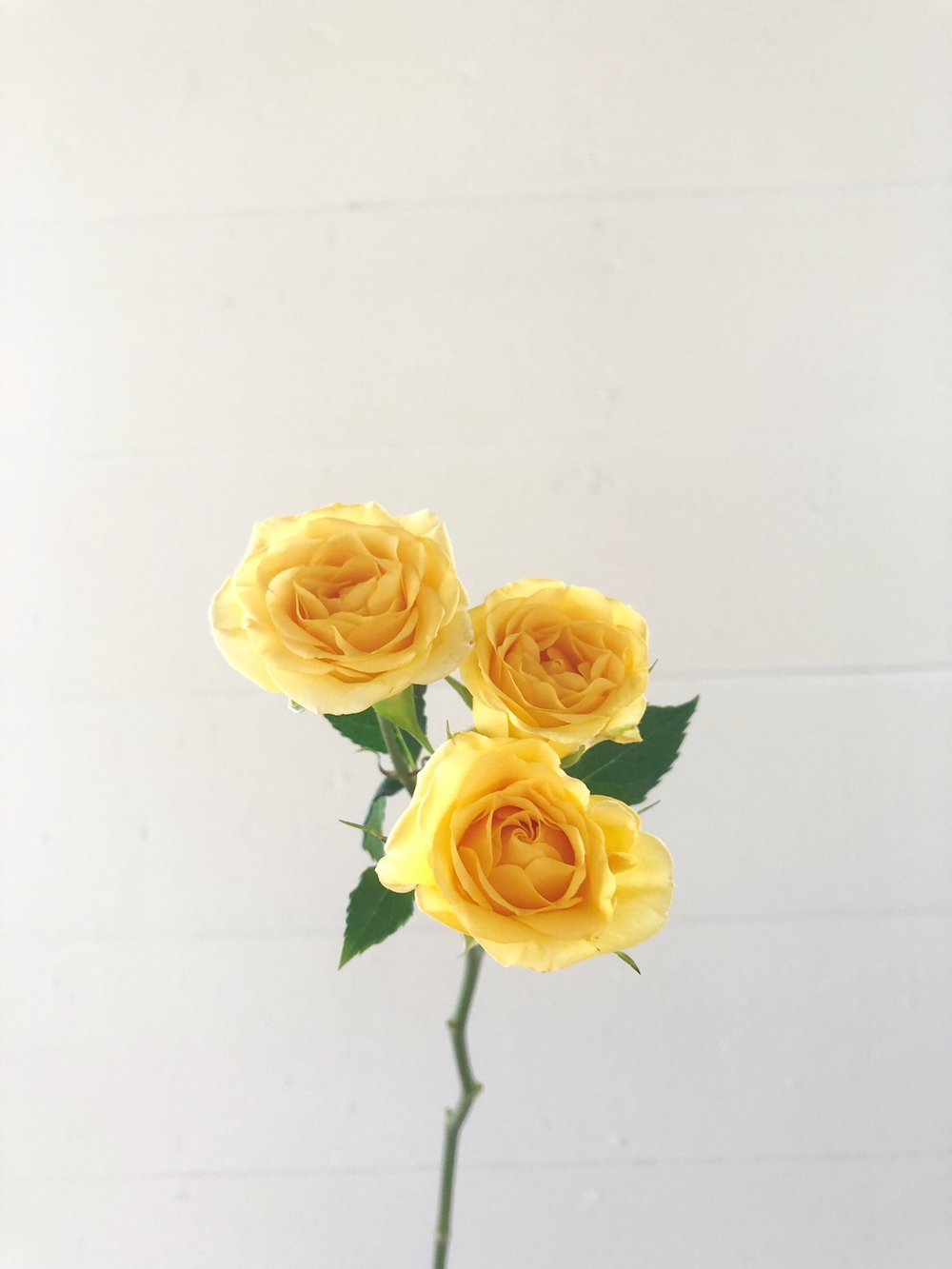 YELLOW BABE SPRAY ROSE