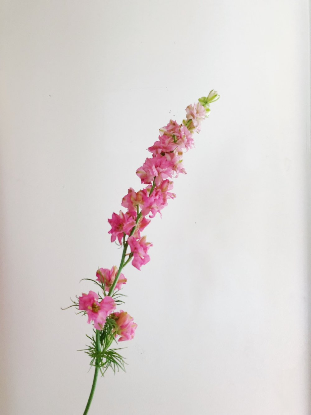 HOT PINK LARKSPUR