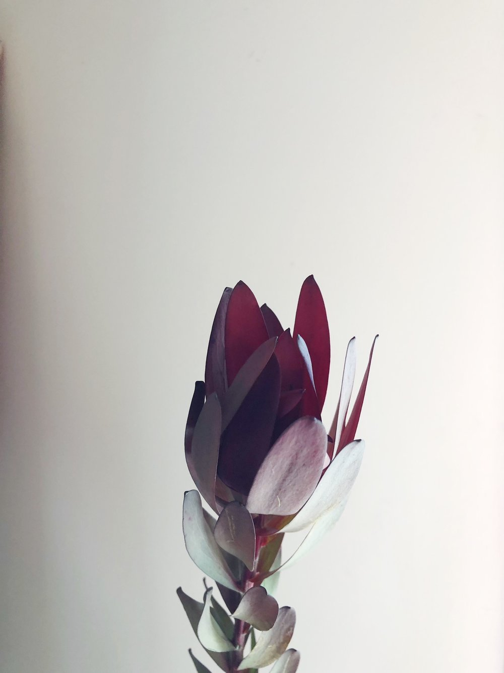 LEUCADENDRON (SAFARI SUNSET)