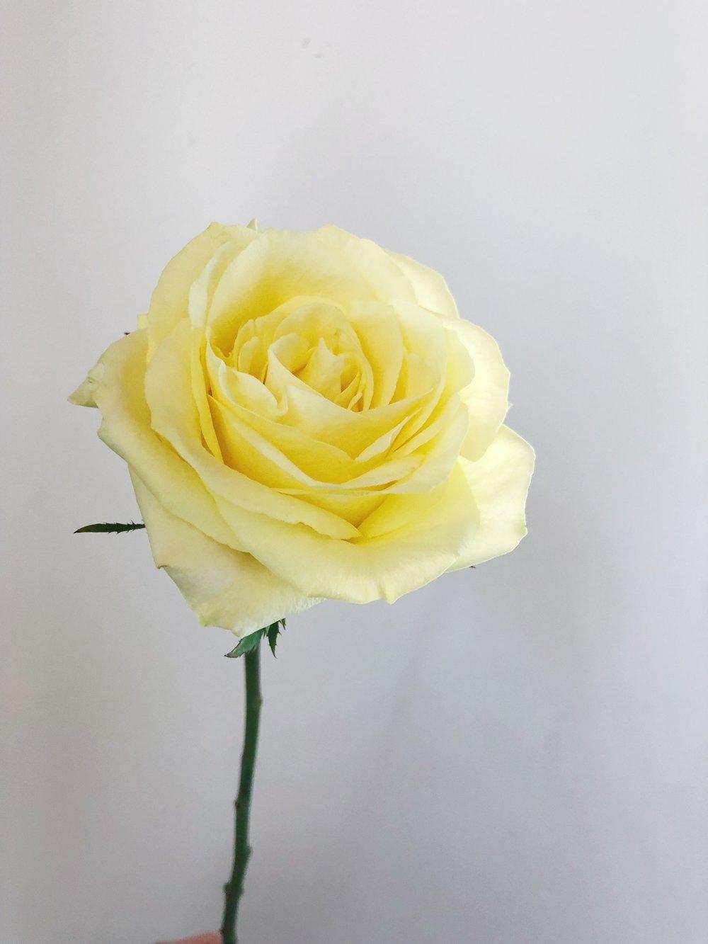 TAKINI ROSE