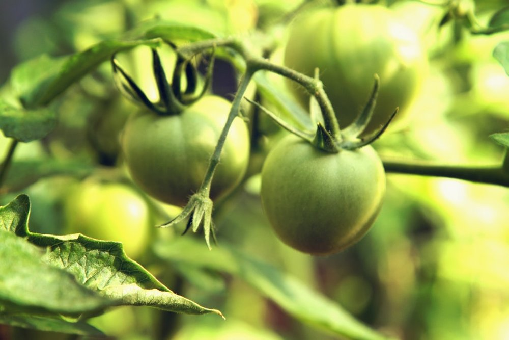 green-tomato-extract-powder