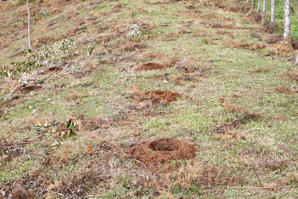 Holes dug for planting Typica 2,5x2,5 meters apart.jpg