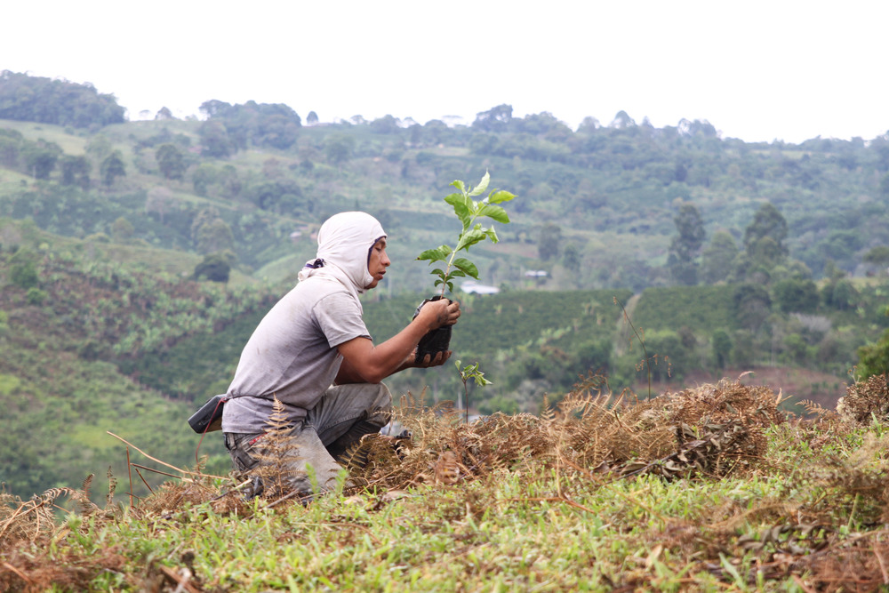 Worker planting Typica in February 2015.jpg
