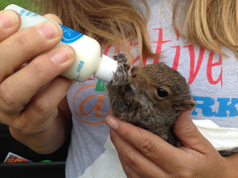 While out on site today, I learned that Jerri's son found this squirrel, Jimmy, and has been feeding it from a bottle. Jerri keeps him during the day while her son is in school.