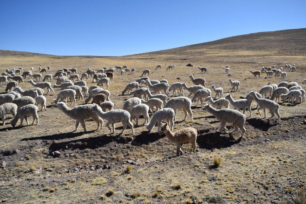 Alpaca_Herd.jpg