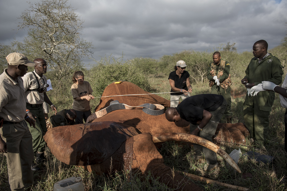 Members of the collaring team, comprised of the Kenya Wildlife Service and Kenya based NGOs, Save The Elephants and the Tsavo Trust, begin the collaring process  of a 25-year-old male Savanna elephant in the Maktau area of Tsavo West National Park in Kenya on March 15, 2016. The team also checks the elephant's health and takes measurements and photographs.
