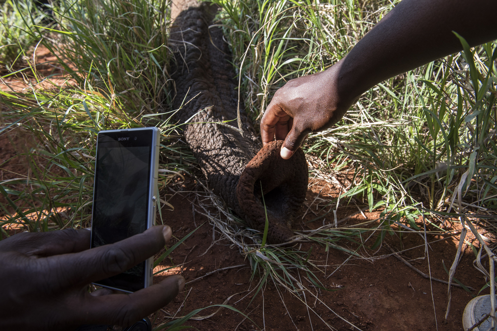 Members of the collaring team take pictures of the trunk of an 18-year-old female Savanna elephant in the Murka  area of Tsavo West National Park in Kenya on March 15, 2016.