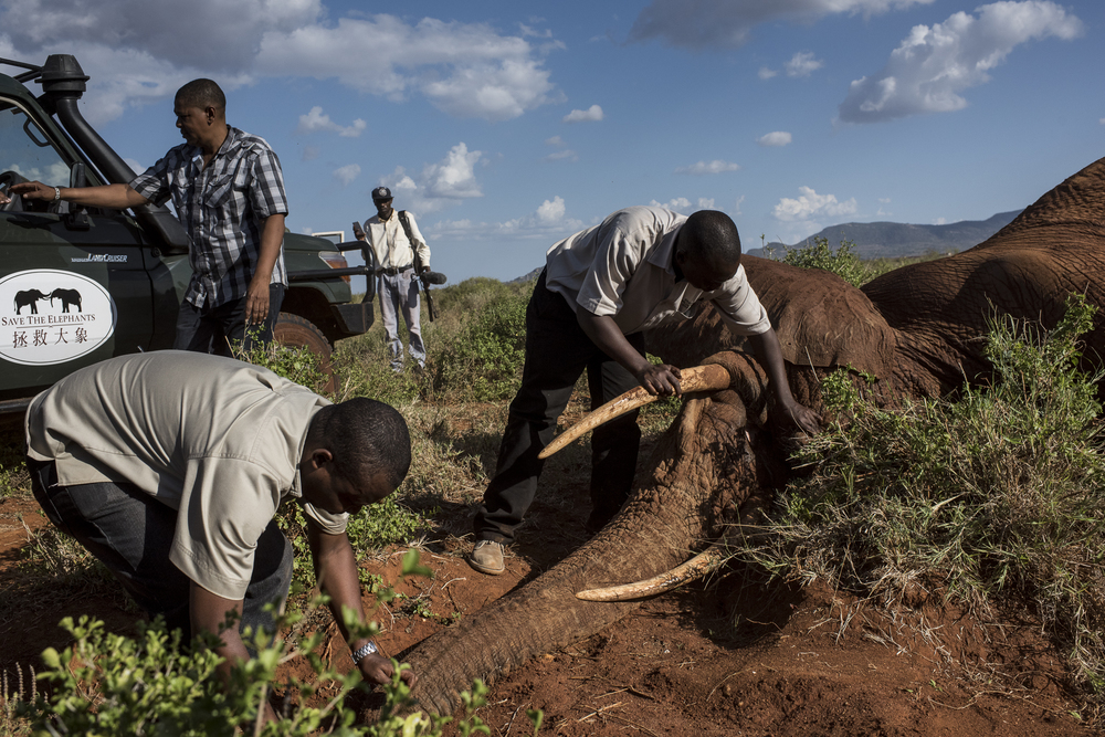 Members of the collaring team, comprised of the Kenya Wildlife Service and Kenya based NGOs, Save The Elephants and the Tsavo Trust, work on the collaring of a 25-year-old male Savanna elephant in the Ngara area of Tsavo East National Park in Kenya on March 15, 2016.