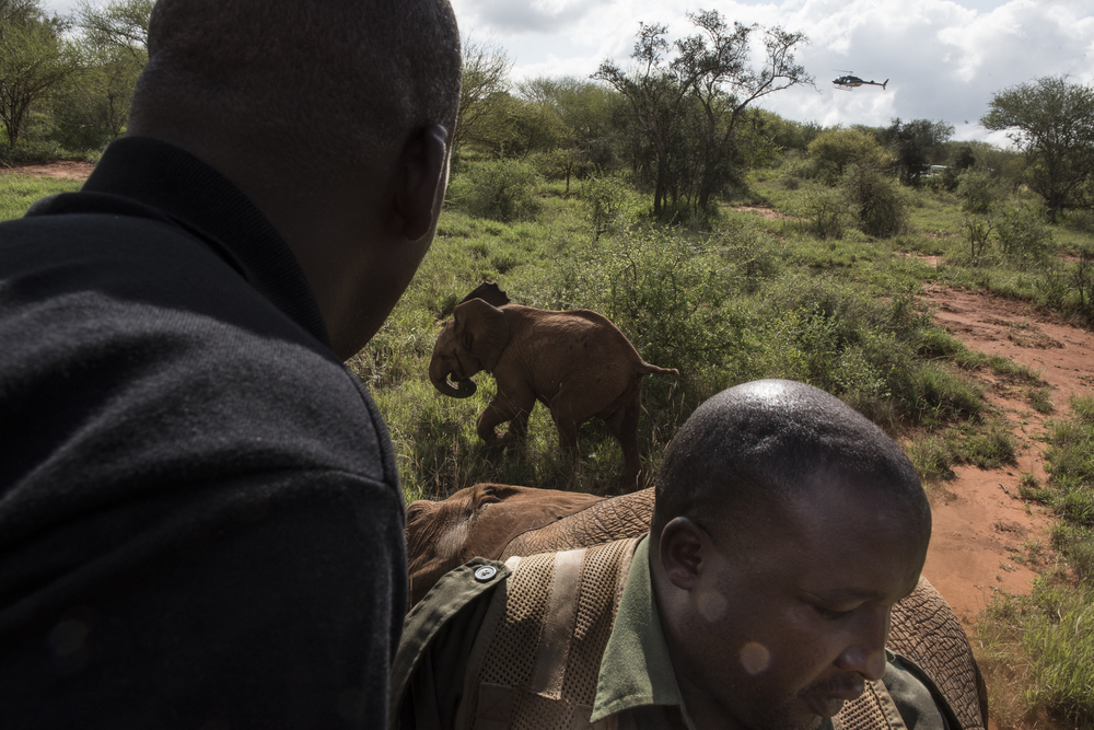 Members of the collaring team chase away a male calf after it's mother was darted to be collared in the Murka area of Tsavo West National Park in Kenya on March 15, 2016.