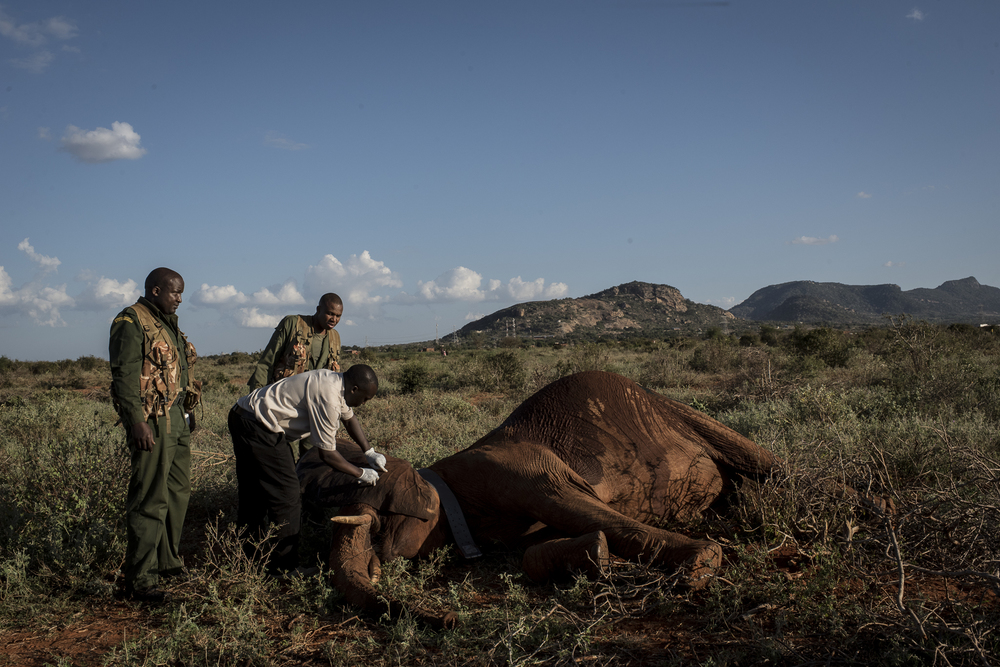 Kenya Wildlife Services field veterinarian, Dr. Dominic Mijele, injects an anti-serum into a 18-year-old female Savanna elephant to wake her from sedation in the Maungu area of Tsavo East National Park in Kenya on March 15, 2016.