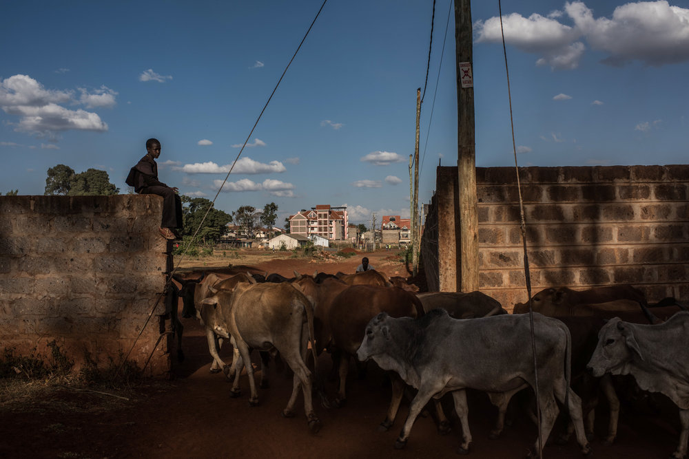 A boy watches as cattle are moved home after grazing in the Langata neighborhood of Nairobi, Kenya on November 1, 2016. Masai herders move their cattle from southwestern Kenya to graze in Nairobi when the land is too dry to raise livestock.