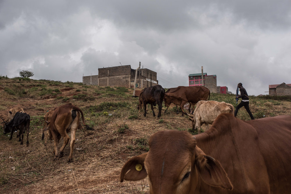 Edwin Lekishon, 16, watches his cattle as they move to a field to graze on the outskirts of Kibera, Africa's biggest urban slum, in Nairobi, Kenya on November 2, 2016. Masai herders move their cattle from southwestern Kenya to graze in Nairobi when the land is too dry to raise livestock.