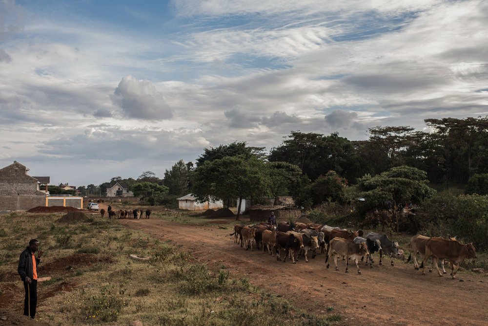 Cattle are driven home to their sheds in the Langata neighborhood of Nairobi, Kenya on November 2, 2016. Masai herders move their cattle from southwestern Kenya to graze in Nairobi when the land is too dry to raise livestock.