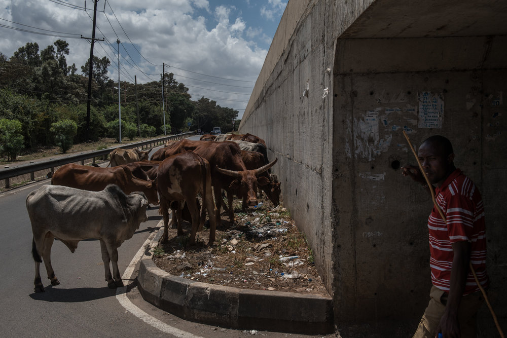 Alan Lemayian, 27, keeps watch as his cattle graze along a highway in the Langata neighborhood of Nairobi, Kenya on November 1, 2016. Masai herders move their cattle from southwestern Kenya to graze in Nairobi when the land is too dry to raise livestock.