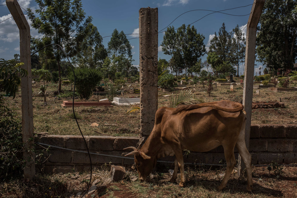 A cow grazes in front of Langata Cemetery in Nairobi, Kenya on November 1, 2016. Masai herders move their cattle from southwestern Kenya to graze in Nairobi when the land is too dry to raise livestock.