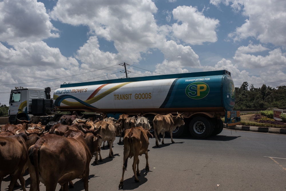 Cattle wait for a truck to proceed through a roundabout on a highway in the Langata neighborhood of Nairobi, Kenya on November 1, 2016. Masai herders move their cattle from southwestern Kenya to graze in Nairobi when the land is too dry to raise livestock.
