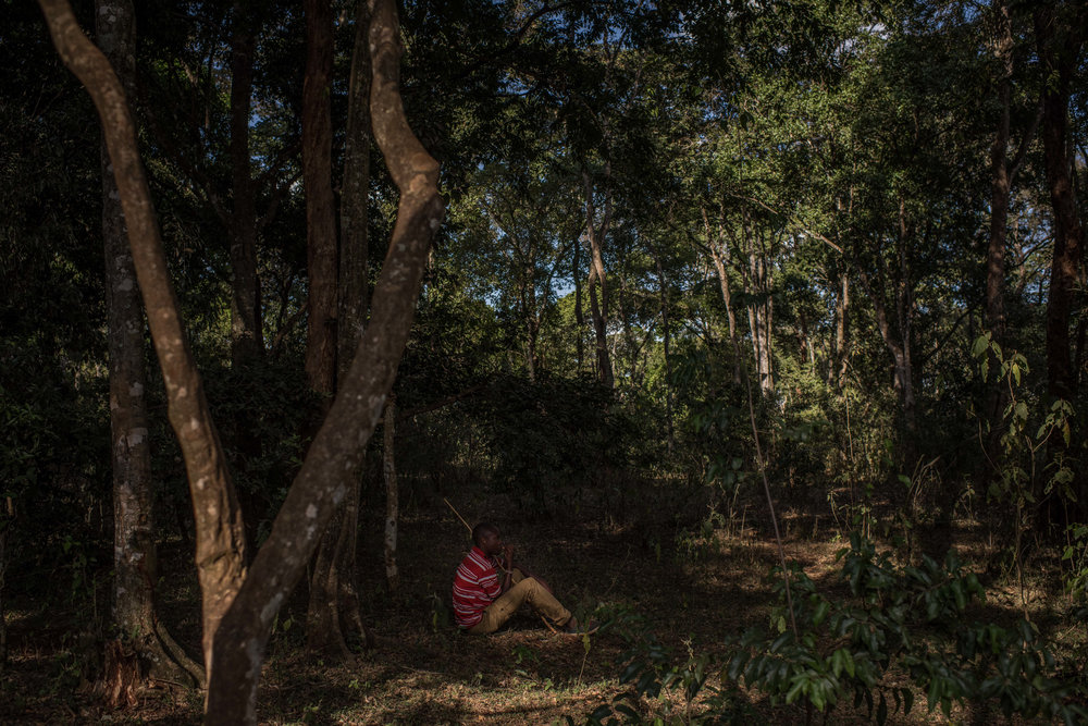 Alan Lemayian, 27, watches his cattle move through Ngong Forest in Nairobi, Kenya on November 1, 2016. Masai herders move their cattle from southwestern Kenya to graze in Nairobi when the land is too dry to raise livestock.
