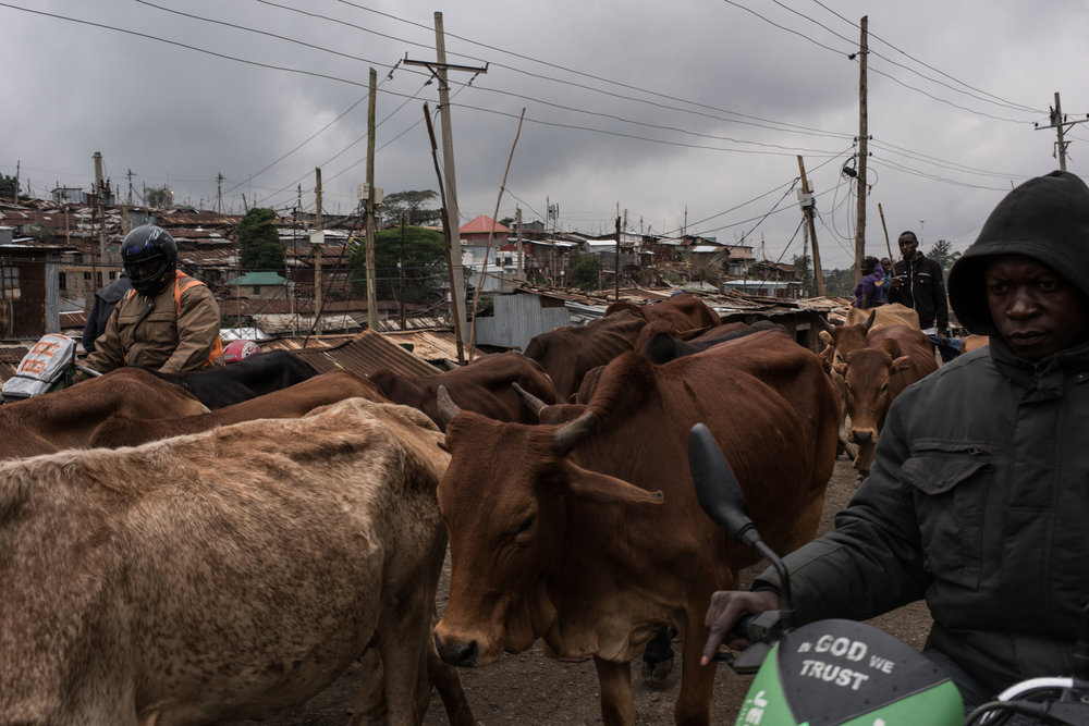 Cattle walk down a road in Kibera, Africa's biggest urban slum, on their way to a field on the slum's outskirts in Nairobi, Kenya on November 2, 2016. Masai herders move their cattle from southwestern Kenya to graze in Nairobi when the land is too dry to raise livestock.
