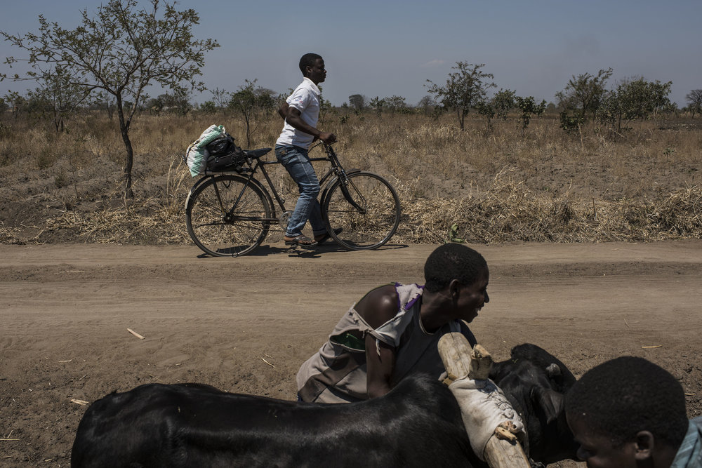 Men try to direct a cow which ran off the road in the village of Masale, which lies in one of the areas most affected by drought, on September 10, 2016 in Zomba, Malawi.
