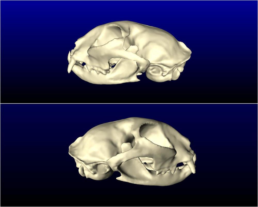 cat_skull_003.jpg