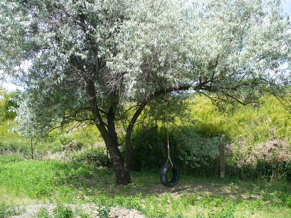 Tire Swing on Russian Olive Tree.JPG