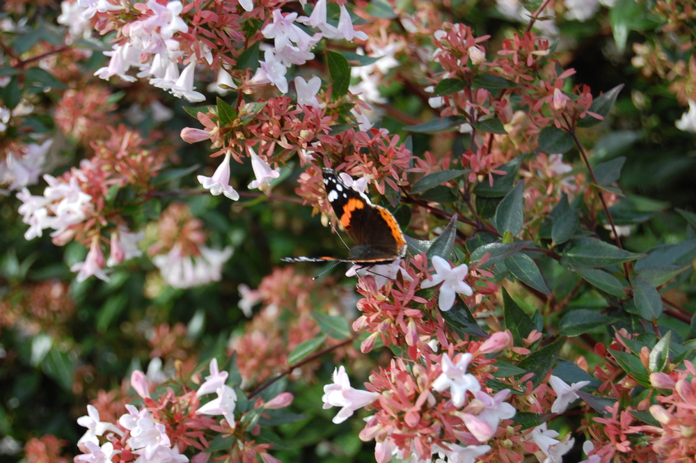 Abelia x grandiflora glossy abelia