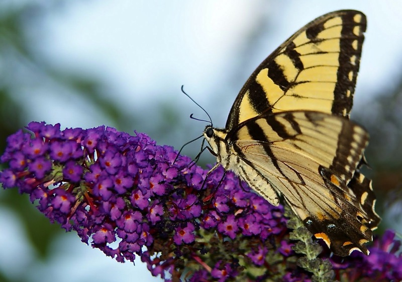 Buddleja 'Lochinch' butterfly bush