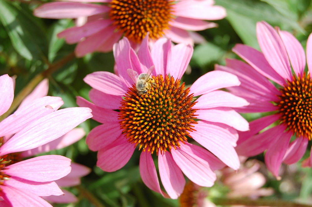 Echinacea purpurea eastern purple coneflower