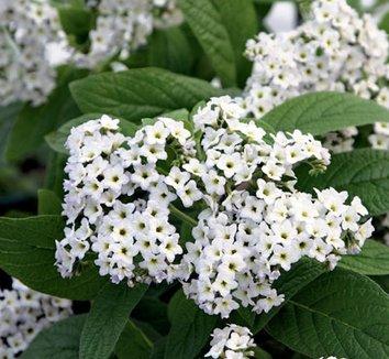 Heliotropium arborescens 'Alba' or 'Album' white heliotrope