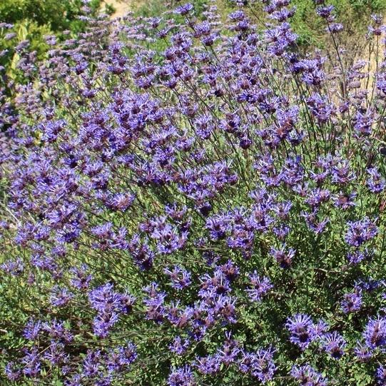 Salvia clevelandii 'Allen Chickering'Cleveland sage