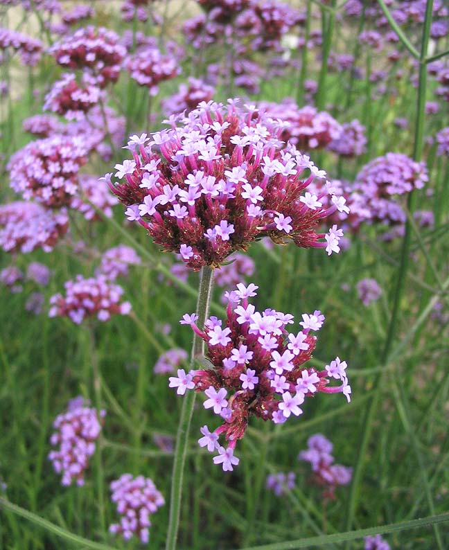 Verbena bonariensis purple-top verbena