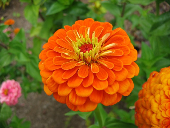Zinnia elegans orange king zinnia