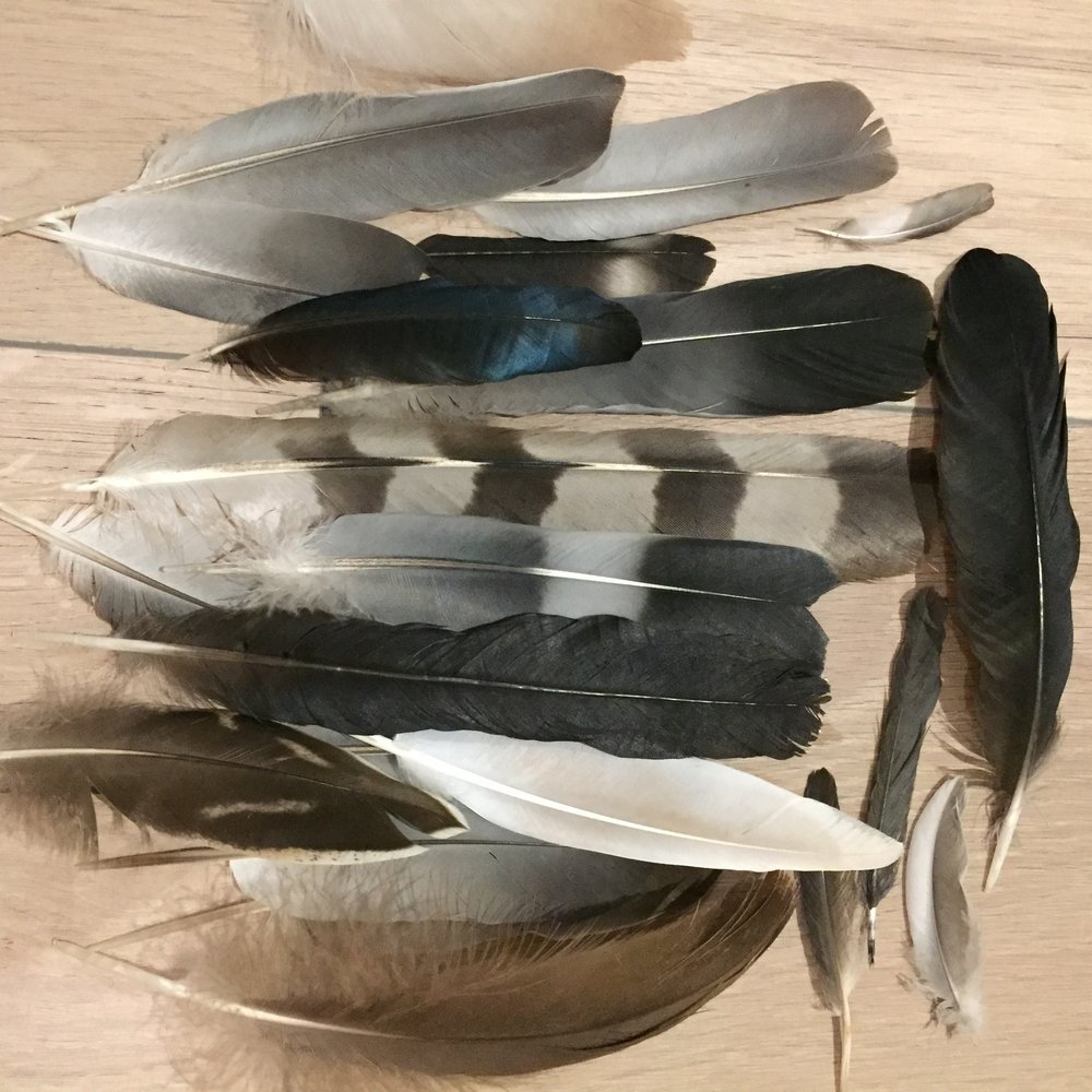 Just a few of the recent bird feathers I have found.