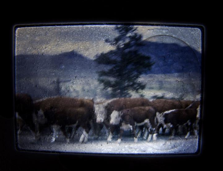 Cattle_1965.jpg