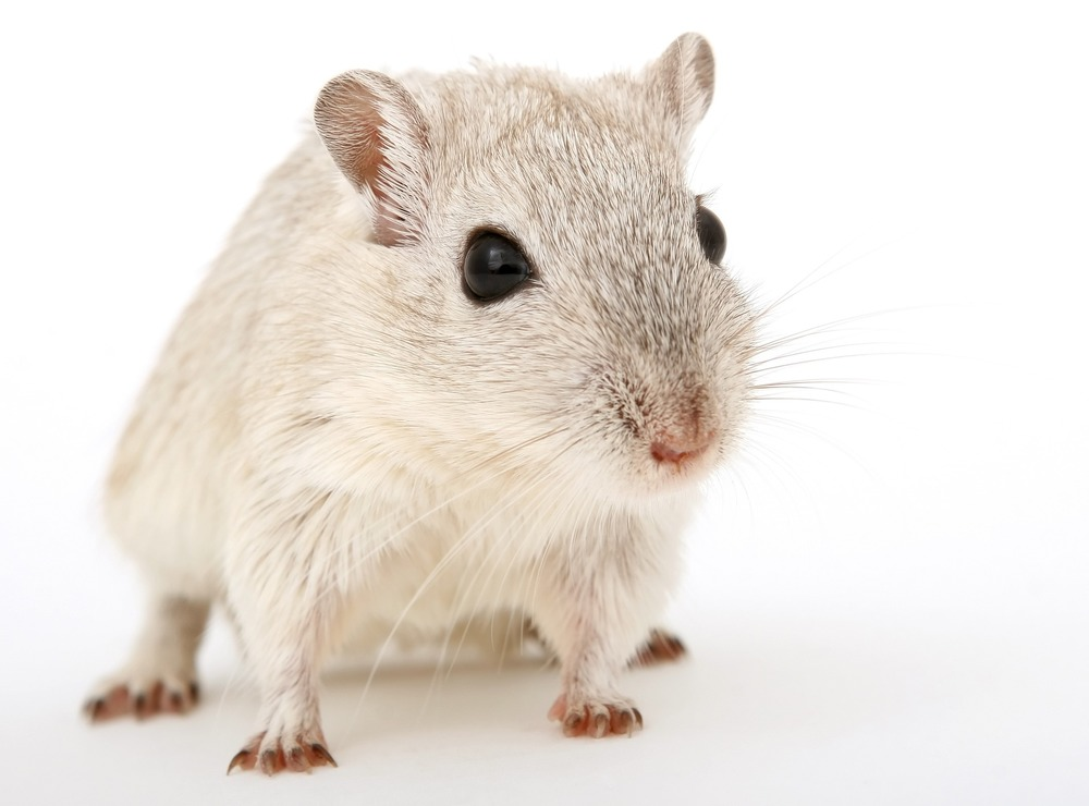 This is probably a Gerbil