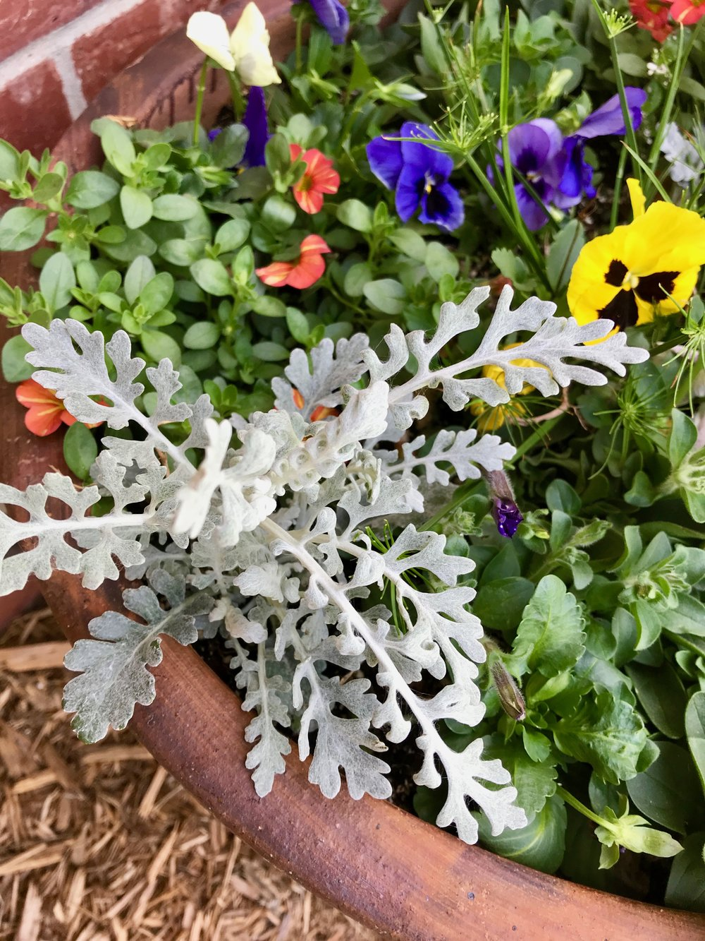 Dusty Miller- who doesn't love pale gray fuzzy foliage?