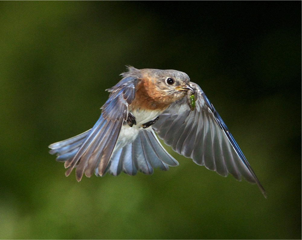 Eastern bluebird bringing food back to the nest