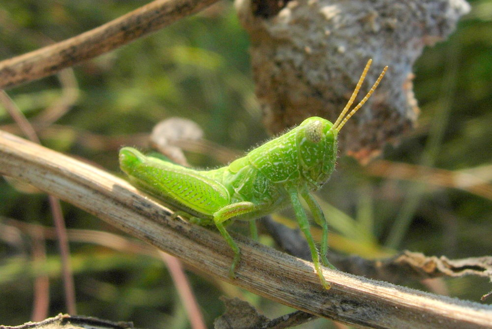 Fuzzy Olive-Green Grasshopper -  Campylacantha olivacea      (spotted at Konza Prairie in Kansas, USA)
