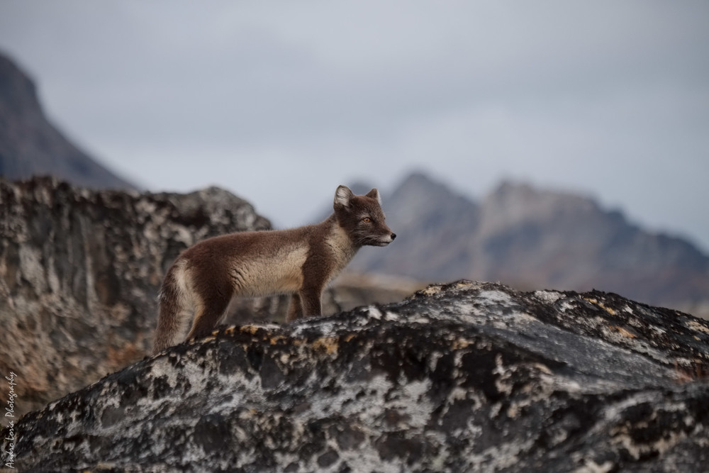fjord patrol, arctic fox in summer coat, Karale fjord area, East Greenland